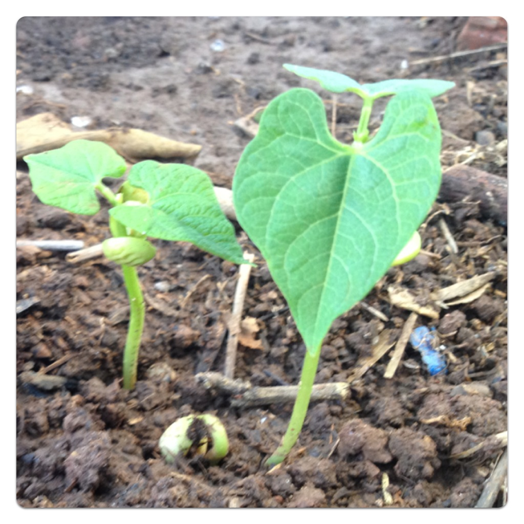 Half term fun growing beans with children lilinha angel for Indoor gardening green beans