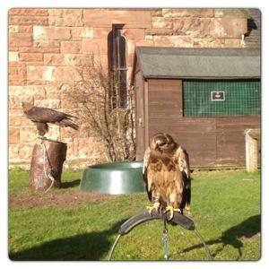 Falconry at Peckforton Castle