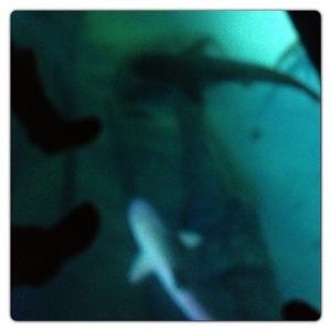 Shark Walk at the London Aquarium
