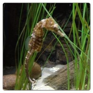 Seahorse at the London Aquarium